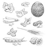 Nuts, beans, seeds and wheat sketches Stock Images