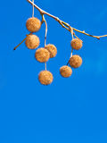 Nuts in branch Stock Images