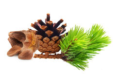 Nuts from cedar pine cone Royalty Free Stock Photography