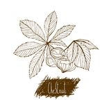 Nuts. Chestnuts. Set of hand drawn illustrations. Sketch Style Royalty Free Stock Photography