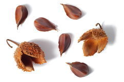 Nuts of Common Beech Royalty Free Stock Photos