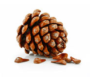 Nuts and Cone of Siberian Pine Isolated on White Royalty Free Stock Image
