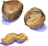 Nuts, drawn with colored pencils Stock Images