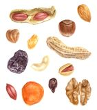 Nuts and dried fruits watercolor set. Hand drawn nuts and dried fruits watercolor set Stock Photography