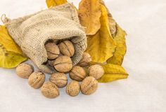 Nuts and dry leaves in a rustic bag on a white background. Autumn is here. Dry leaves and ripe fruits are coming. Walnuts and dry leaves in a rustic bag on a Stock Image