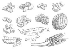 Nuts, grain pencil sketch icons on blackboard Stock Images