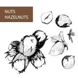 Nuts. Hazelnuts. Royalty Free Stock Photography