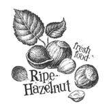 Nuts, hazelnuts on a white background. sketch. Fresh food on a white background. illustration Royalty Free Stock Photo