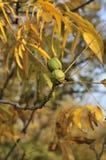 nuts pecannöt Royaltyfri Fotografi