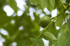 Nuts on the tree. And the foliage Stock Images