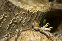 Curious Chipmunk with Stuffed Cheeks Peeks Between Logs. A tiny brown Eastern Chipmunk with largely distended cheeks peeks between fallen brown logs with lichens Stock Photography