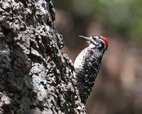 Nuttall's Woodpecker Stock Images