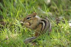 Nutty Chipmunk Royalty Free Stock Image