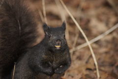 Nutty Smile Squirrel Royalty Free Stock Photos