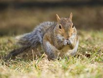 Nutty squirrel Royalty Free Stock Image