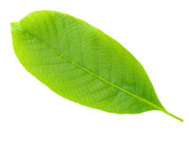 Nutwood leaf. Stock Photography