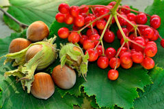 Nutwood. Nuts and berries on the leaves Stock Photography