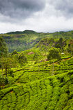 Nuvara Ellia tea plantation Royalty Free Stock Photo