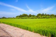 Nuvem do céu azul de grama verde do campo do arroz foto de stock