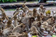 Nuvem do leite da bebida do macaco, Lopburi Tailândia Imagens de Stock