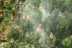 Nuvem do pólen de um pinheiro imagens de stock