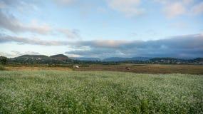 a nuvem no campo da mostarda com a flor branca em DonDuong - Dalat- Vietname imagem de stock royalty free