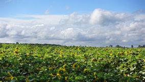 Nuvens brancas sobre o campo dos girassóis Imagens de Stock