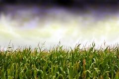 Nuvens de tempestade sobre o campo de milho Imagens de Stock Royalty Free