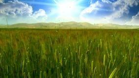 Nuvens do timelapse do campo de trigo filme