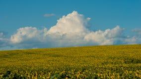 Nuvens e o campo de um girassol de florescência em agosto Fotografia de Stock