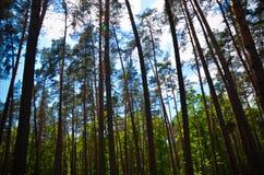 Nuvens no céu e no fundo de ramos de árvore Foto de Stock Royalty Free
