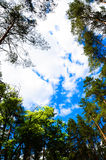Nuvens no céu e no fundo de ramos de árvore Fotos de Stock Royalty Free