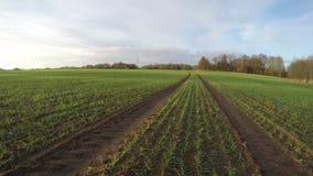 Nuvens que correm sobre o crescimento do campo de trigo, lapso de tempo 4K filme