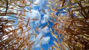 Nuvens rápidas sobre o trigo dourado filme