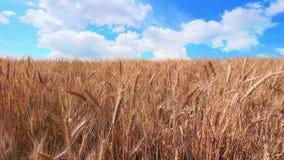 Nuvens rápidas sobre o trigo dourado vídeos de arquivo