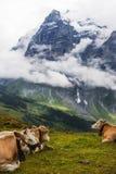 Nuvens, Wetterhorn, e vacas suíças Fotografia de Stock Royalty Free