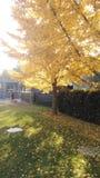 Nuvola bianca del cielo blu dell'albero di ginco di autunno fotografie stock libere da diritti