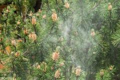 Nuvola di polline da un pino fotografia stock libera da diritti