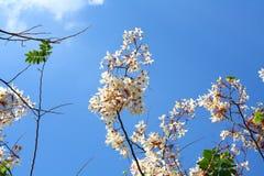 Nuvola e cielo himalayani selvaggi della ciliegia Fotografia Stock Libera da Diritti