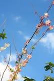 Nuvola e cielo himalayani selvaggi della ciliegia Immagini Stock Libere da Diritti