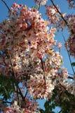 Nuvola e cielo himalayani selvaggi della ciliegia Immagini Stock