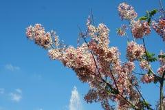 Nuvola e cielo himalayani selvaggi della ciliegia Immagine Stock
