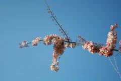 Nuvola e cielo himalayani selvaggi della ciliegia Fotografia Stock