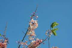 Nuvola e cielo himalayani selvaggi della ciliegia Immagine Stock Libera da Diritti