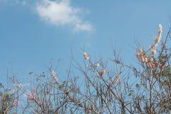 Nuvola e cielo himalayani selvaggi della ciliegia Fotografie Stock Libere da Diritti
