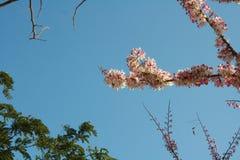 Nuvola e cielo himalayani selvaggi della ciliegia Fotografie Stock