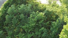 Nuvole degli insetti che volano nel parco vicino al fiume archivi video