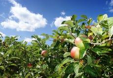 Nuvole e di estate di melo Immagini Stock Libere da Diritti