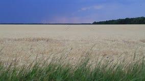 Nuvole e fulmine di tempesta nel cielo di tramonto sopra un campo di grano Paesaggio di sera archivi video