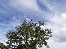 Nuvole ed albero del cielo blu in foglie verdi immagini stock
